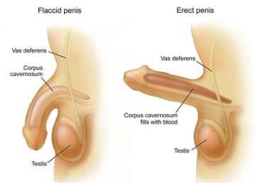 Viagra erections